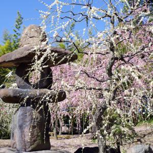 京都 城南宮 しだれ梅と椿まつり