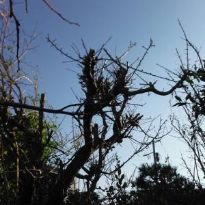 梅の木剪定