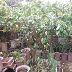 柚子の剪定
