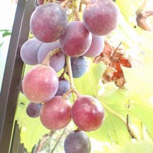 ブドウ色づく