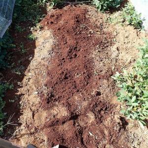 玉ねぎの苗床