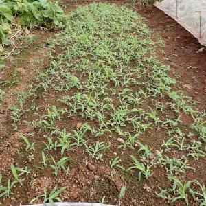 ジャガイモ畝の草取り