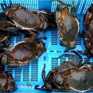 浜名湖ドウマン蟹、あと1ケ月お待ち下さい