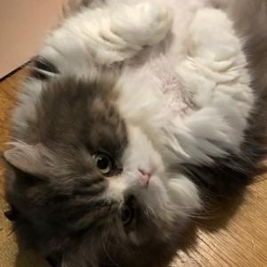 【猫の心臓病】東京動物心臓病センター2回目検査と治療
