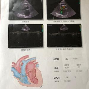 【猫の心臓病(心筋症)】東京動物心臓病センター4回目検査と治療