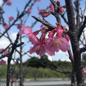桜が咲いてます♪