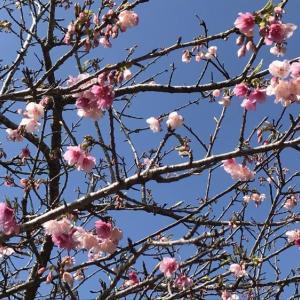 八重瀬公園の桜♪
