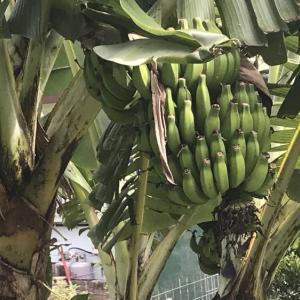 バナナの実♪