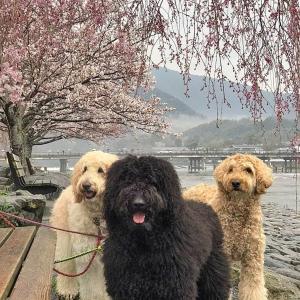 ママとワンコの春休み、2020 四国経由で京都へ!