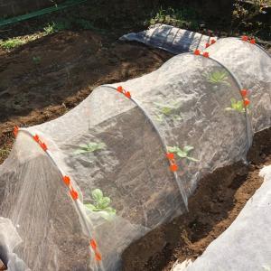 白菜苗の植え付けとネット掛け