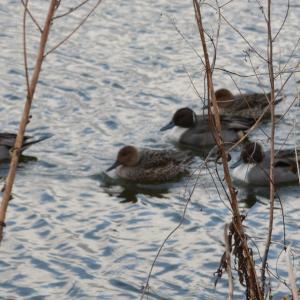 ぷかぷか・寒々・・水鳥たち