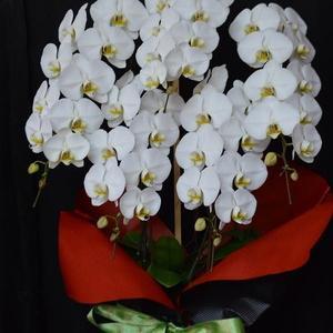 胡蝶蘭白5本立ち(沖縄県産品)沖縄の花屋アレンジマニア