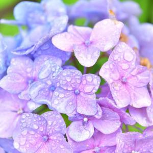 雨と紫陽花…それと身体