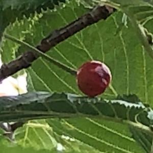 食べたさくらんぼの木のさくらんぼ~その後
