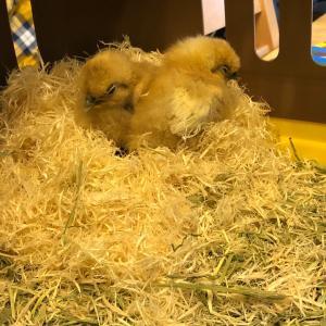 烏骨鶏のひよこちゃん、巣立ち♪