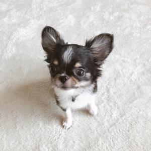 楽天マラソンお買い物リスト!愛犬グッズ&ペット用タングルティーザー&美味しいモノ!