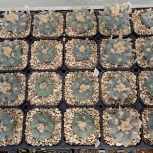 ロフォフォラ類の栽培装置