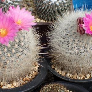 テロカクタス属「太白丸」が開花