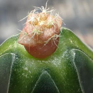ハセルトニア(逆鱗丸)実生接ぎの成長記録