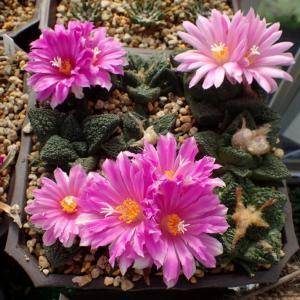 亀甲牡丹の花色