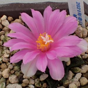 今年の一番花は「ブラボアナス」