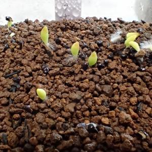 ペクチニフェラ発芽直後から40日間の成長の記録