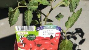 ミニトマトのアイコの苗を買ってきて、早速植えました。STAY HOMEで園芸おすすめ。