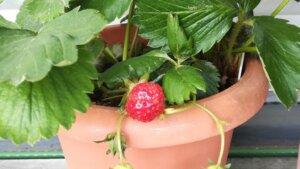 GW後の園芸状況~イチゴを収穫しました。ミニトマトとししとうの成長が速い