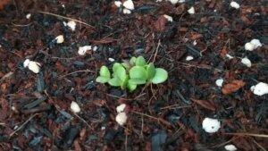 1年前の古い種だけどパクチーとバジルの種まきをしてみました。発芽してくれますように。