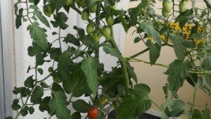2020年夏野菜栽培の反省会~油断しすぎてバジルは失敗したけど、ししとうとミニトマトが良かったです