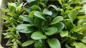 秋冬で育てている春菊・小松菜・ほうれん草が大きくなってきましたよ!