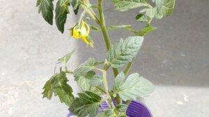 ミニトマトの苗を植えました。今年はアイコではなくて千果にしましたよ。【2021年4月末】