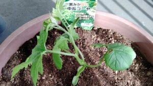GW終わりにゴーヤの苗(沖縄中長)を植えました。ゴーヤ採れ過ぎたらどうしよう。