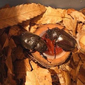 5匹のカブトムシとネグレクト