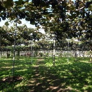 加工用ブドウの収穫