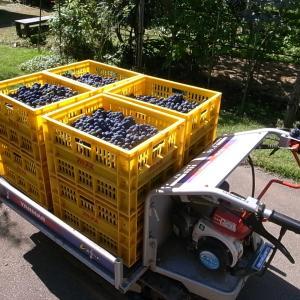 ブドウの収穫と出荷