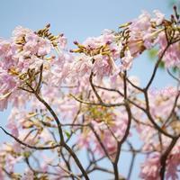 2020年のタイの桜と、罰則有のタイ・新型コロナウイルス感染症対策の追加(2020年4月3日更新)