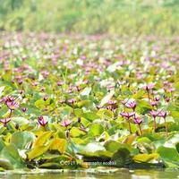ドローン撮影有!タイ王国ナコンパトム県の赤い睡蓮の池