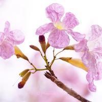 タイの桜とは!? ~見頃の「チョンプー・パンティップ」をご紹介