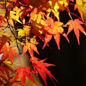 修善寺自然公園もみじ林、と