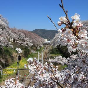 2019桜はじめ~山北~