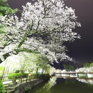 小田原城の桜2019~やけっぱち~