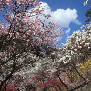 駒ヶ根市中沢の花桃
