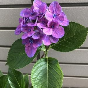 3年目の紫陽花