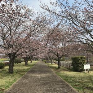 引地川親水公園の桜は2分咲き?3分咲き?