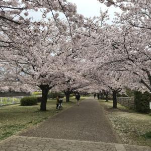 引地川親水公園の桜 やっと満開