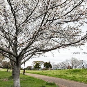 里海公園の桜