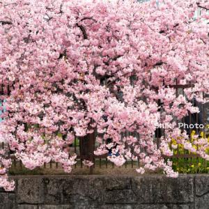 淀水路の河津桜'21