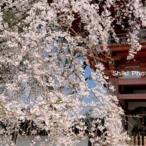 はんなり枝垂れ桜