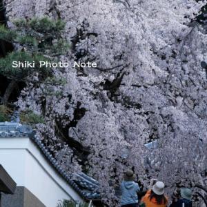 山中渓の桜 '21